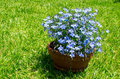 Blue flowers bouquet with green backgrond taken in yard Royalty Free Stock Image