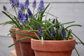 Blue flowers on clay pots Royalty Free Stock Photo