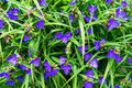 Blue Flowers Closeup