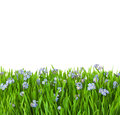 Blue flowers  into green grass with water drops Royalty Free Stock Photos