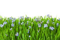 Blue flowers into green grass with water drops / isolated on wh Royalty Free Stock Photo