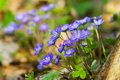 Blue flowers of Hepatica Nobilis close-up Stock Image