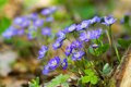 Blue flowers of Hepatica Nobilis close-up Stock Photo