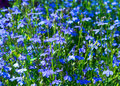 Blue flowers lobelia in focus on the flowerbed. Royalty Free Stock Photo
