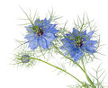 Blue flowers of Love-in-a-mist. Nigella damascena. Isolated. Royalty Free Stock Photo