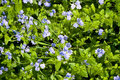Blue flowers nature background of close up germander speedwell meadow Stock Photo