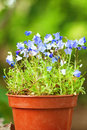 Blue Flowers In The Pot