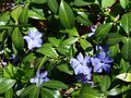 Blue flowers small spring with bright petals Royalty Free Stock Photography