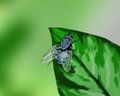 Blue fly on a leaf - hand drawn Stock Photography