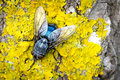 Blue fly on yellow moss Royalty Free Stock Photo
