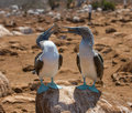 Blue-footed boobies Stock Photography