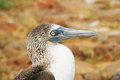 Blue Footed Booby Royalty Free Stock Images