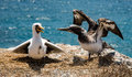 Blue footed booby baby learning to fly Royalty Free Stock Photo