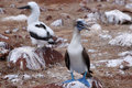 Blue-footed Booby bird. Royalty Free Stock Photography