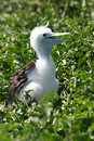 Blue-footed Booby Chick, Galapagos Royalty Free Stock Photo