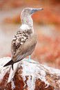Blue footed booby close up of at galapagos island of north seymour Stock Photography