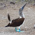Blue-footed booby display Stock Image