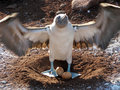 Blue Footed Booby with egg Stock Photography