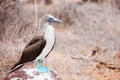 Blue footed booby at galapagos island of north seymour Royalty Free Stock Image
