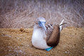 Blue-footed Booby, Isla de la Plata, Ecuador Royalty Free Stock Image