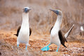 Blue footed booby mating dance Royalty Free Stock Photo