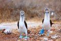 Blue footed booby mating dance couple of boobies performing Royalty Free Stock Image