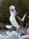 Blue footed booby during mating ritual dance a stands on a rock and lifts one foot its in the galapagos islands Stock Images