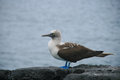 Blue footed booby this picture was taken in galapagos islands ecuador Stock Images