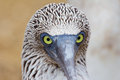 Blue-footed booby portrait Stock Image