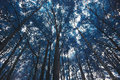 Blue forest trees Royalty Free Stock Photo