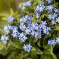 Blue forget me not flowers close up. Shallow depth of the field