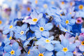 Blue forget me not flowers isolated on white background Royalty Free Stock Photos