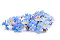 Blue forget me not flowers isolated on white background Stock Photo