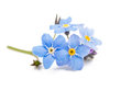 Blue forget me not flowers isolated on white background Stock Photos