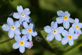 Blue Forget-me-not flowers (Myosotis) Royalty Free Stock Photo