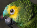 Blue Fronted Amazon Stock Image