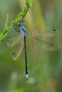 Blue-fronted dancer damselfly Royalty Free Stock Photography