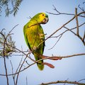 Blue-fronted parrot, parrot resting on the branch of a tree Royalty Free Stock Photo