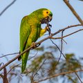 Blue-fronted parrot, parrot resting on the branch of a tree eating seeds Royalty Free Stock Photo