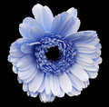 Blue gerbera flower, black isolated background with clipping path. Closeup. no shadows. For design. Royalty Free Stock Photo