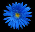 Blue gerbera flower on black isolated background with clipping path. Closeup. no shadows. For design. Royalty Free Stock Photo