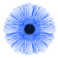 Blue gerbera flower Royalty Free Stock Photo