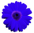 Blue gerbera flower, white isolated background with clipping path. Closeup. no shadows. For design. Royalty Free Stock Photo