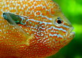 Blue gill a freshwater floating Royalty Free Stock Photos