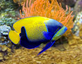 Blue girdled angelfish 5 Royalty Free Stock Image