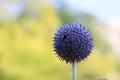 Blue Globe Flower Royalty Free Stock Photo