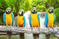 Blue and gold macaw against tropical waterfall background Stock Photo
