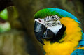 Blue gold macaw ara ararauna it breeds in forest and woodland of tropical south america from trinidad and venezuela south of Royalty Free Stock Image