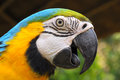 Blue and gold macaw a bird with feathers in colors yellow some may look to go with that has another name called Stock Photography