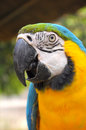 Blue and gold macaw a bird with feathers in colors yellow some may look to go with that has another name called Royalty Free Stock Photography